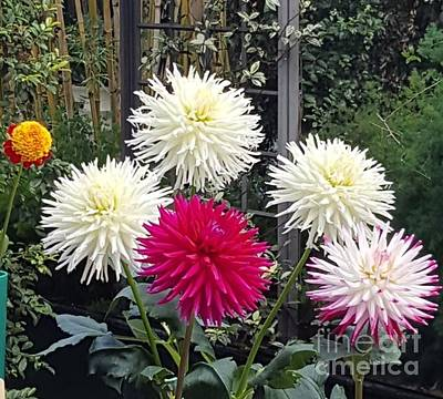 Photograph - Dahlia Garden by Gregory Rhode