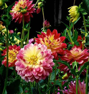 Photograph - Dahlia Garden Time  by Suzanne McDonald