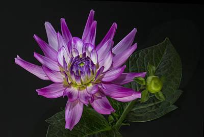 Photograph - Dahlia Glow by Roman Kurywczak