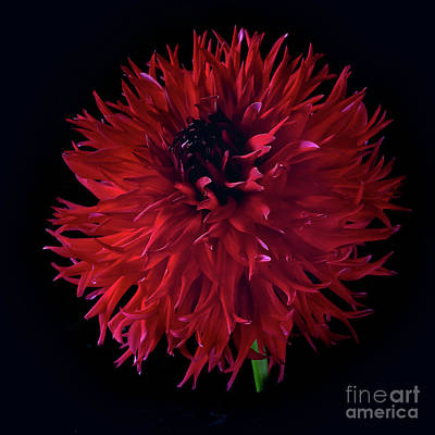 Photograph - Dahlia 'holyhill Miss Scarlet' by Ann Jacobson