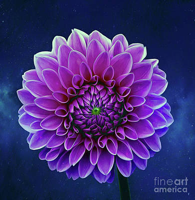 Mixed Media - Dahlia by Ian Mitchell