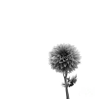 Photograph - Dahlia In Black And White 2 by Mark Alder