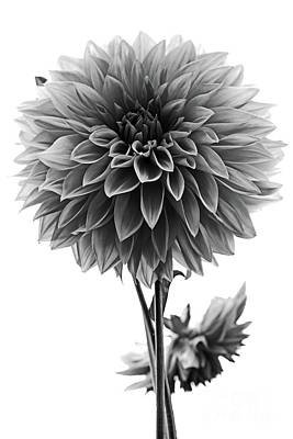 Photograph - Dahlia In Black And White by Mark Alder