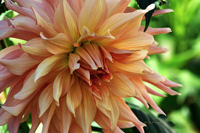 Photograph - Dahlia In Bloom by Jeanette C Landstrom