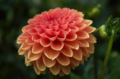 Photograph - Dahlia In Detail by Arlene Carmel