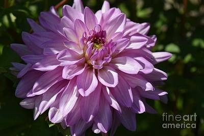 Photograph - Dahlia In Lavender  by Jeannie Rhode