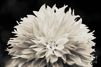 Photograph - Dahlia In Monochrome by Evelyn Odango