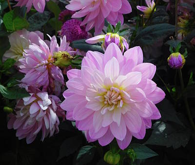 Photograph - Dahlia In Powerscourt by Melinda Saminski