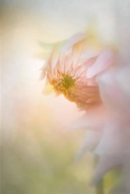 Dahlia In The Soft Morning Mist Art Print