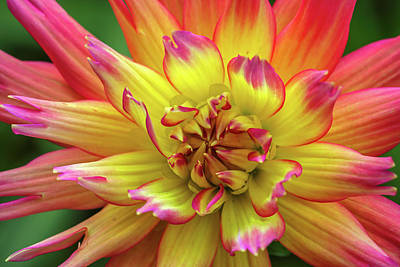 Photograph - Dahlia by Juergen Roth