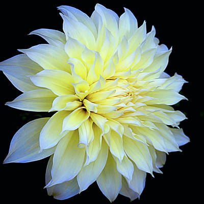 Photograph - Dahlia Kelvin Floodlight by Julie Palencia