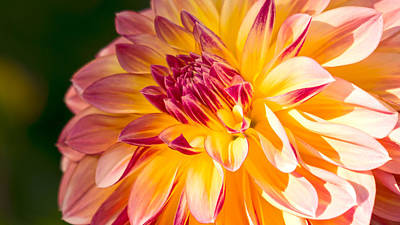 Photograph - Dahlia Late Afternoon Radiance by Michael Hope