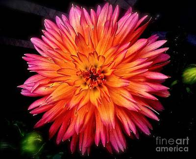 Photograph - Dahlia by Linda Bianic