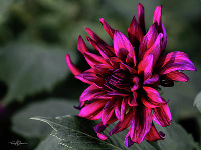 Photograph - Dahlia, Looks Close To 'prince Noir' by Torbjorn Swenelius