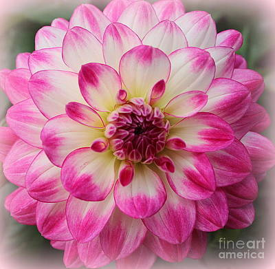 Photograph - Dahlia Lovely In Pink And White by Dora Sofia Caputo Photographic Art and Design