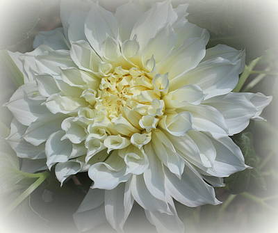 Photograph - Dahlia Lovely In White by Dora Sofia Caputo Photographic Design and Fine Art