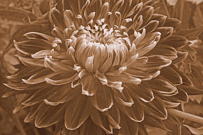 Photograph - Dahlia Macro In Sepia by Kay Novy