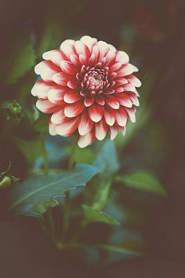 Photograph - Dahlia by Marco Oliveira
