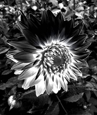 Photograph - Dahlia Monochrome by Will Borden