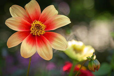 Photograph - Dahlia Moonfire by Susan Rissi Tregoning