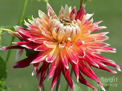 Photograph - Dahlia Named Akita by J McCombie