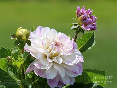 Photograph - Dahlia Named Glenmont Regan by J McCombie