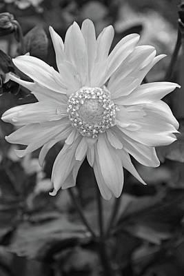 Photograph - Dahlia No. 9-2 by Sandy Taylor