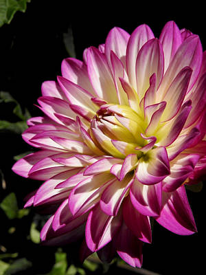 Photograph - Dahlia No.1131 by Janice Adomeit