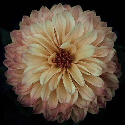 Photograph - Dahlia On Black by Patricia Strand