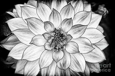 Photograph - Dahlia Oriental Dream Monochrome by Tim Gainey