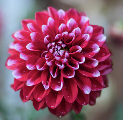 Florals Royalty-Free and Rights-Managed Images - Dahlia Patterns by Martin Newman