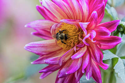 Photograph - Pink Dahlia Bee by Patti Deters