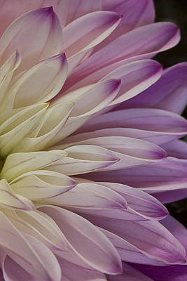 Photograph - Dahlia Petals 2 by Morgan Wright