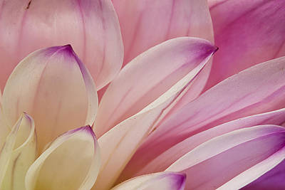 Photograph - Dahlia Petals 3 by Morgan Wright