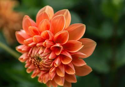 Photograph - Dahlia Petals by Arlene Carmel