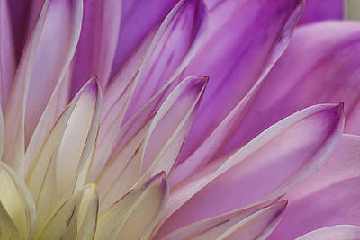 Photograph - Dahlia Petals by Morgan Wright