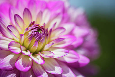 Photograph - Dahlia by Pierre Cornay