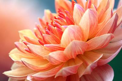 Photograph - Dahlia Pink And Yellow by Femina Photo Art By Maggie