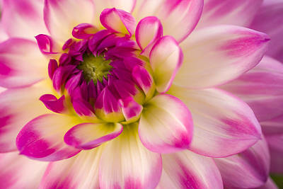 Photograph - Dahlia Pink Horizontal by Alex Saunders
