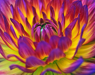 Dahlia Power Art Print by Kathy Yates