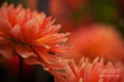Dahlia Photograph - Dahlia Rainshower by Mike Reid