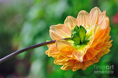 Photograph - Dahlia Resting by Kaye Menner
