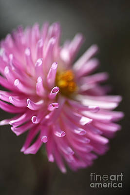 Photograph - Dahlia Romance by Joy Watson