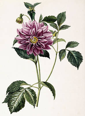 Dahlia Rosea Print by Honore Blanc
