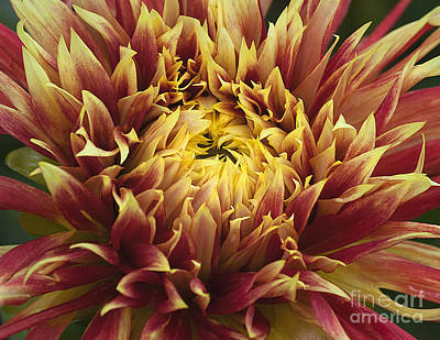 Photograph - Dahlia 'show 'n Tell' by Ann Jacobson