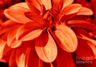Photograph - Dahlia Splendor by Sheila Ping