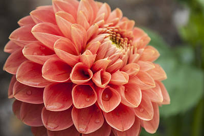 Photograph - Dahlia by Stewart Scott