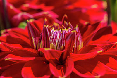 Photograph - Dahlia Study 1 by Scott Campbell