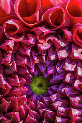 Photograph - Dahlia Study 2 by Scott Campbell