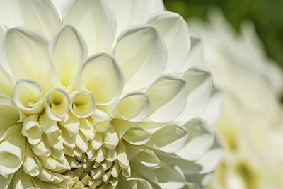 Photograph - Dahlia Study 4 by Scott Campbell
